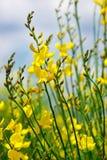 Yellow flower of wild genista. Royalty Free Stock Photos