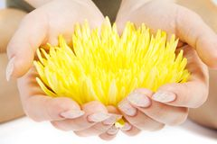 Yellow flower in the woman han. Ds Royalty Free Stock Image