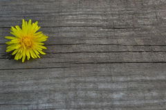 Yellow flower on a wooden background. Yellow flower dandelion on a wooden background Royalty Free Stock Image