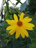Yellow flower. That grows on the banks of the river and the big leaves royalty free stock image
