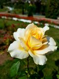 Yellow flower. Rose garden park stock image