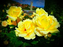 Yellow flower. Rose garden park royalty free stock images