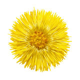 The yellow flower with yellow stamens Royalty Free Stock Photo