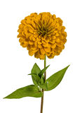 Yellow flower of zinnia (Lat. Zinnia) Royalty Free Stock Photo