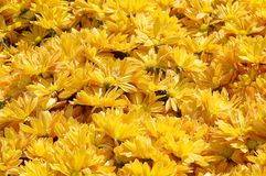 Yellow Flowerbed. Many yellow daisies in a flowerbed Stock Photo