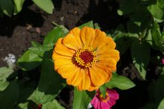 Yellow flowerhead of common zinnia from above Royalty Free Stock Photos
