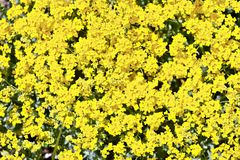 Yellow Flowering Background Royalty Free Stock Photos