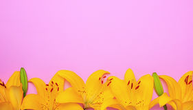 Yellow flowering buds of a lily Royalty Free Stock Photos