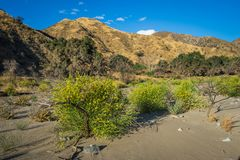 Yellow Flowering Bushes in Riverbed Royalty Free Stock Image
