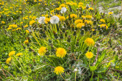 Yellow flowering common dandelion plants as seen obliquely from Royalty Free Stock Photos