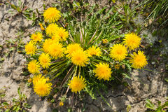 Yellow flowering common dandelion plants seen from above Stock Photo