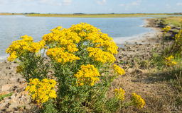Yellow flowering corn daisies along the water stock images