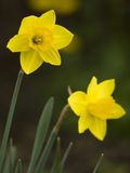 Yellow flowering daffodil Royalty Free Stock Photos