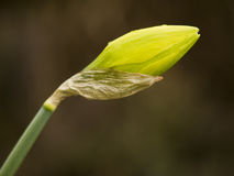 Yellow flowering daffodil Stock Photography