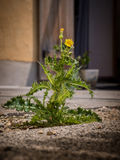 Yellow flowering field milk thistle lokated between paving stone. Photo shows a closeup of a yellow flowering field milk thistle lokated between paving stones Stock Photo