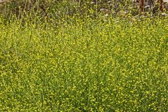 Mustard plant. Yellow flowering field of wild mustard plants royalty free stock photography