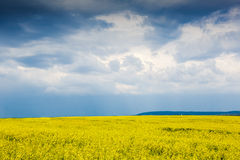 Yellow flowering fields Royalty Free Stock Photo