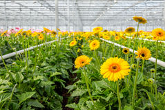 Yellow flowering Gerbera plants growing in a greenhouse from clo Royalty Free Stock Photos