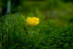 Yellow Flowering Green Plants Stock Images
