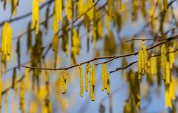 Yellow flowering hazelnut catkins earrings on sunny day. Lot of beautiful and highly allergenic hazel catkins Corylus avellana royalty free stock image