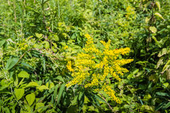 Yellow flowering heads of Goldenrod plants Royalty Free Stock Images
