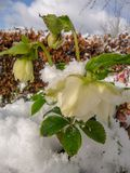 Yellow flowering hellebore plants outside covered in snow stock image