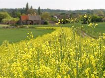 Yellow flowering kale, a game and farmland bird cover crop, with blurred 16th century barn in distance stock images