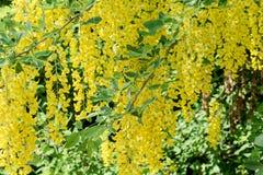 Yellow flowering laburnum. In spring royalty free stock images