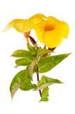 Yellow flowering Mandevilla Stock Photo