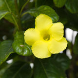 Yellow flowering Mandevilla (Dipladenia). Plant royalty free stock photography