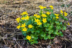 Yellow flowering marsh-marigold from close. Closeup of yellow blossoming Kingcup or Caltha palustris in its own swampy habitat Stock Image