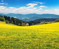 Yellow flowering meadow full of dandelion Stock Photos