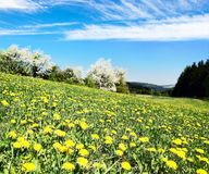 Yellow flowering meadow full of dandelion Stock Photography