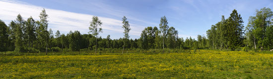 Yellow flowering meadow in Sweden Royalty Free Stock Photo