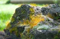 Yellow Flowering Moss Stock Images