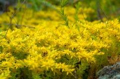 Yellow flowering moss Sedum Sexangulare Plants mats ornamental f Stock Images