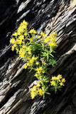 Yellow flowering mountain saxifrage in Switzerland Royalty Free Stock Photography