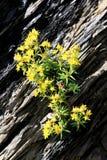Yellow flowering mountain saxifrage in Switzerland royalty free stock photography