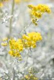 Yellow flowering plant. Yellow flowering plant at beach Stock Photo