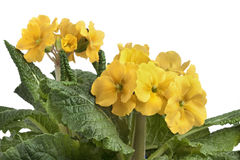 Yellow flowering Primula elatior Royalty Free Stock Photo
