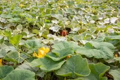 Yellow flowering pumpkin plants in the field from close. Closeup of buds, yellow blossoms and orange fruits of many organically cultivated pumpkin plants in a royalty free stock images