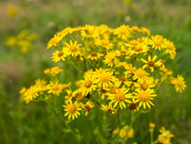 Yellow flowering Ragwort Royalty Free Stock Image