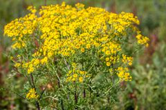 Yellow flowering Ragwort or Jacobaea vulgaris plant from close Royalty Free Stock Photography