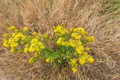 Yellow flowering Ragwort plant Royalty Free Stock Photos