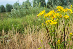 Yellow flowering Ragwort plant with caterpillars. Stock Photo