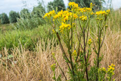 Yellow flowering Ragwort plant with caterpillars. Royalty Free Stock Image