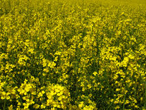 Yellow flowering rape Stock Images