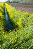 Yellow flowering rapeseed on the banks of a small stream Stock Image