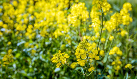 Yellow flowering rapeseed from close Royalty Free Stock Photos