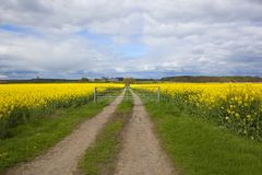 Yellow flowering rapeseed crop with farm track. Yellow flowering rapeseed crops at Stillingfleet in Yorkshire with a farm track and trees on the horizon under a Royalty Free Stock Images